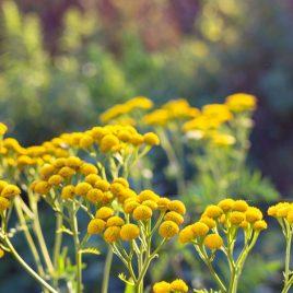 Żółte kwiaty - lato łąka wrotycz